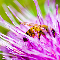 Buy canvas prints of thistle bee by D.APHOTOGRAPHY
