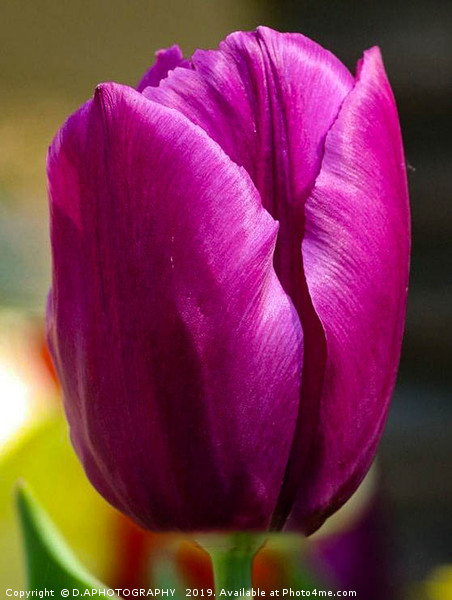 the tulip Framed Mounted Print by D.APHOTOGRAPHY