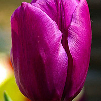 Buy canvas prints of the tulip by D.APHOTOGRAPHY