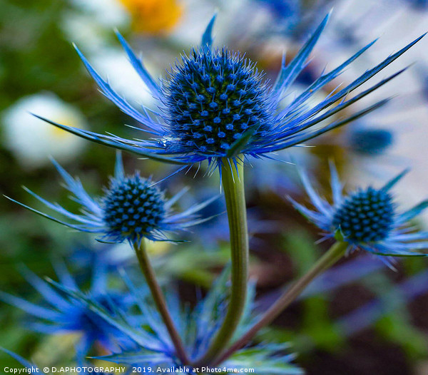 blue thistle Framed Mounted Print by D.APHOTOGRAPHY