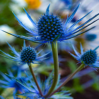 Buy canvas prints of blue thistle by D.APHOTOGRAPHY