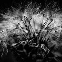 Buy canvas prints of Dandelion seeds by D.APHOTOGRAPHY