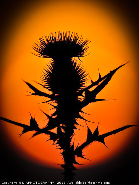A thistle in the sun Framed Mounted Print by D.APHOTOGRAPHY