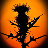Buy canvas prints of A thistle in the sun by D.APHOTOGRAPHY