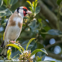 Buy canvas prints of Goldfinch by Adrian Rowley