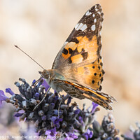 Buy canvas prints of The Painted Lady by Adrian Rowley