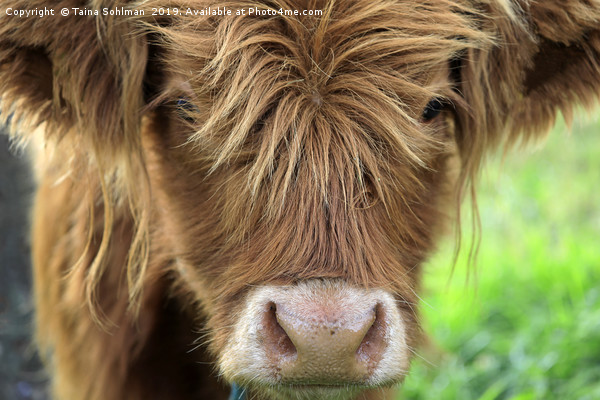 Close up of Young Highland Bull Canvas print by Taina Sohlman
