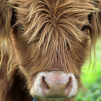 Buy canvas prints of Close up of Young Highland Bull by Taina Sohlman