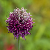 Buy canvas prints of Allium in garden coming to end of its bloom by Mehul Patel