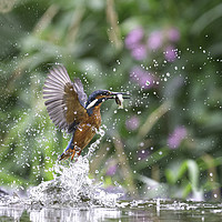 Buy canvas prints of Kingfisher with fish  by Steve Adams