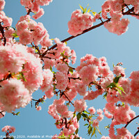 Buy canvas prints of Spring Cherry blossoms, pink flowers by M. J. Photography