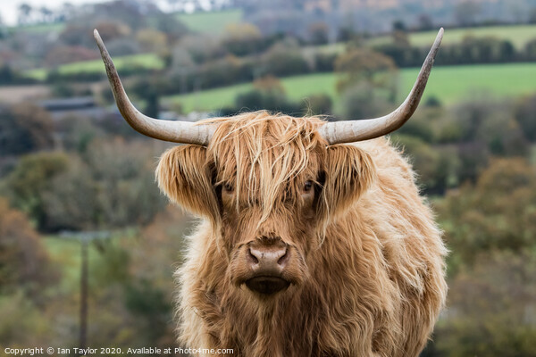 Highland Cow. Print by Ian Taylor