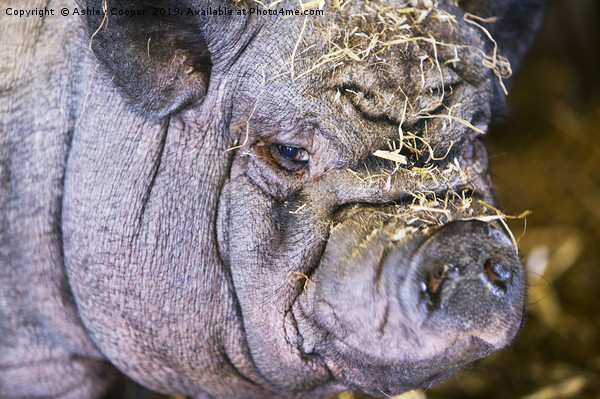 Pig ugly. Canvas Print by Ashley Cooper