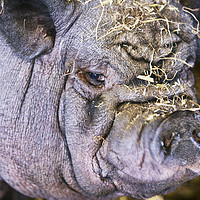 Buy canvas prints of  Pig ugly. by Ashley Cooper