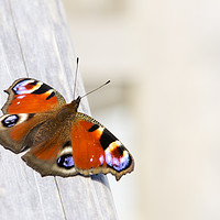 Buy canvas prints of Peacock by Ashley Cooper