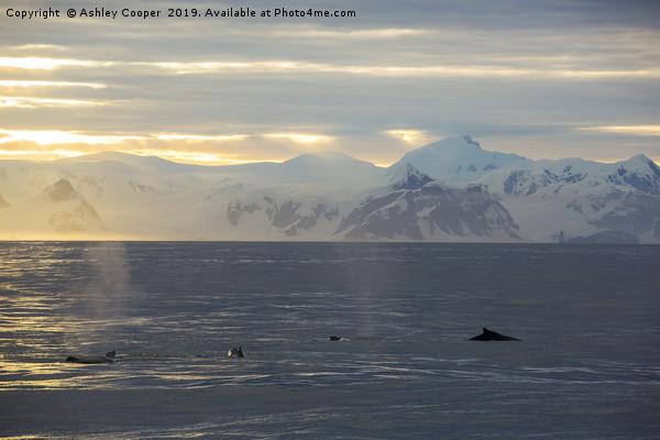 Whale dawn Framed Print by Ashley Cooper