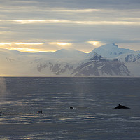 Buy canvas prints of Whale dawn by Ashley Cooper