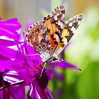 Buy canvas prints of Painted Lady. by Ashley Cooper
