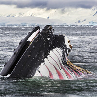 Buy canvas prints of Humpback by Ashley Cooper