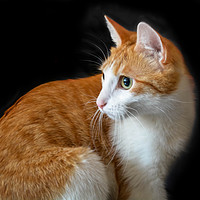 Buy canvas prints of Ginger red cat on black background by Jelena Maksimova