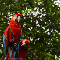 Buy canvas prints of parrots on the banks of the Guayas river. Guayaquil, Ecuador by Mario Koufios