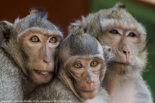 The monkeys of Wat Leu Temple Sihanoukville Cambodia Framed Print by Mario Koufios