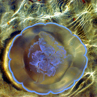 Buy canvas prints of Jelly Fish by Karen Harding