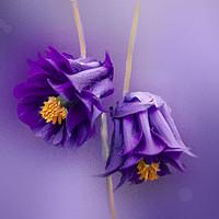 Buy canvas prints of Columbine Purple Dreams by Alison Chambers