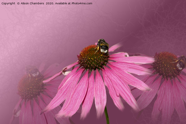 Bee on Purple Coneflower Framed Mounted Print by Alison Chambers