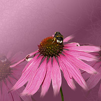 Buy canvas prints of Bee on Purple Coneflower by Alison Chambers