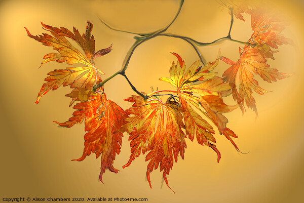 Autumn Acer Leaves  Canvas Print by Alison Chambers
