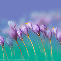 Buy canvas prints of Crocus Queue by Alison Chambers