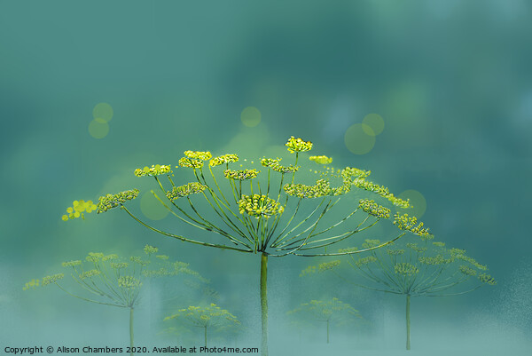Wild Fennel Framed Mounted Print by Alison Chambers