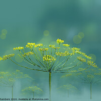 Buy canvas prints of Wild Fennel by Alison Chambers