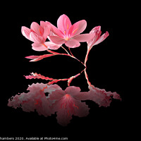Buy canvas prints of Kaffir Lily Reflections  by Alison Chambers