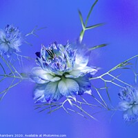 Buy canvas prints of Love-in-a-Mist by Alison Chambers