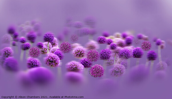 Alliums in a Mist Framed Print by Alison Chambers