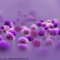 Buy canvas prints of Alliums in a Mist by Alison Chambers