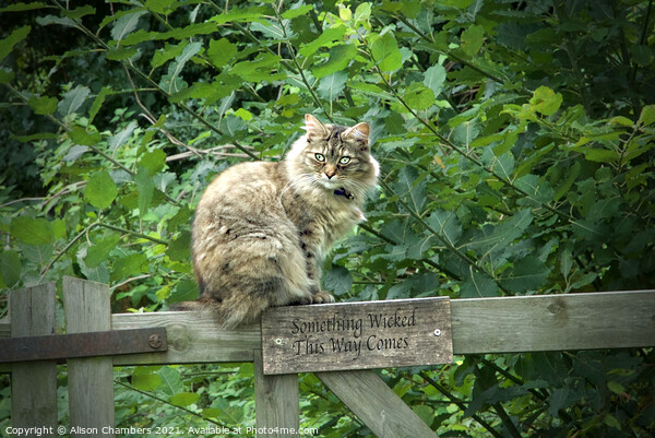 Cat on a Gate Canvas Print by Alison Chambers