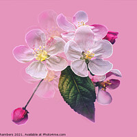 Buy canvas prints of Apple Blossom by Alison Chambers