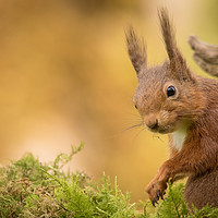Buy canvas prints of Red Squirrel Up close by Neil Parker