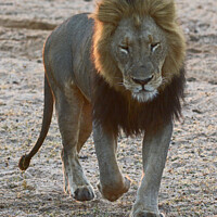 Buy canvas prints of Lion coming our way by David Mather