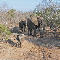 Buy canvas prints of New arrival in the elephant family by David Mather