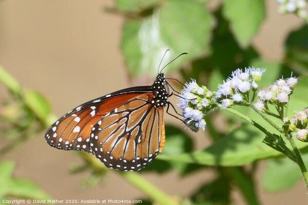 Monarch butterfly, Costa Rica Print by David Mather