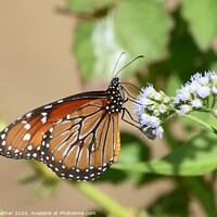 Buy canvas prints of Monarch butterfly, Costa Rica by David Mather