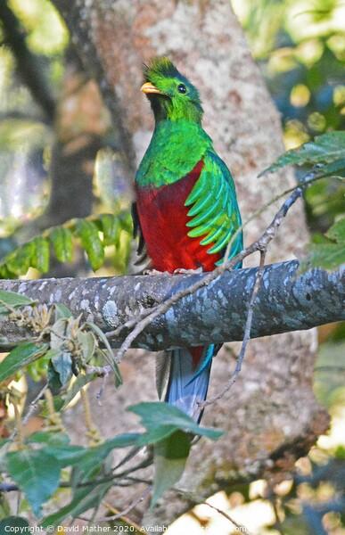 Resplendent Quetzal, Costa Rica Framed Mounted Print by David Mather