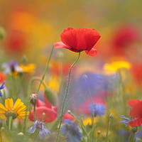 Buy canvas prints of Meadow Flowers by Simon Johnson