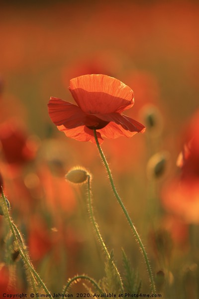 Poppy evening sunlight Canvas Print by Simon Johnson