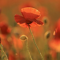Buy canvas prints of Poppy evening sunlight by Simon Johnson