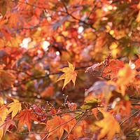 Buy canvas prints of Acer Colour Autumn Woodland by Simon Johnson